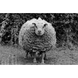 Mouton breton